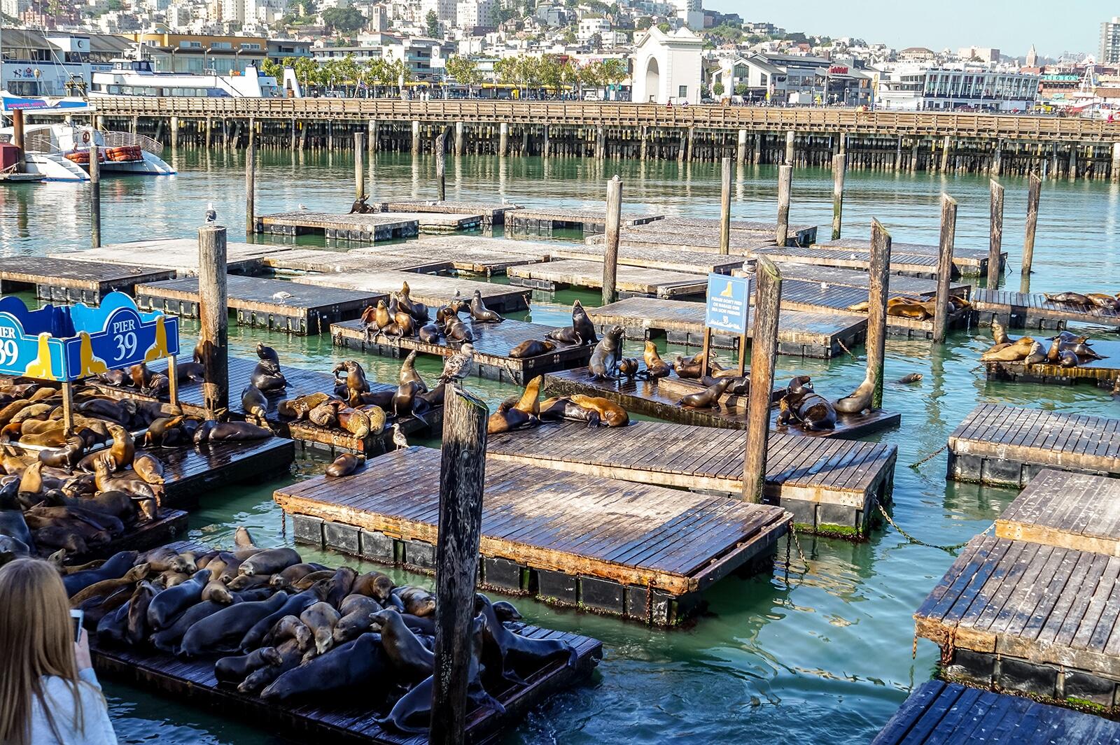 sea lions at k dock at pier 39